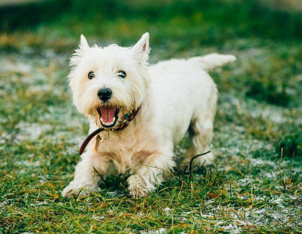 Tratamiento del gusano del corazón en perros
