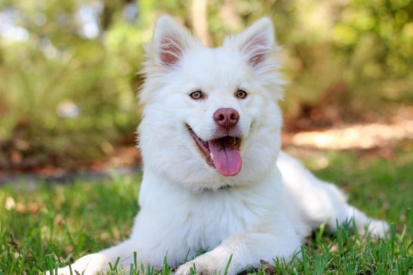 Tratamiento y cuidados de un perro con insuficiencia cardíaca