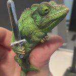 Un camaleón sujeta armas de miniatura