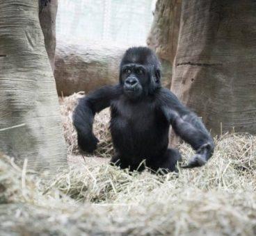 Un niño y un gorila juegan al escondite juntos