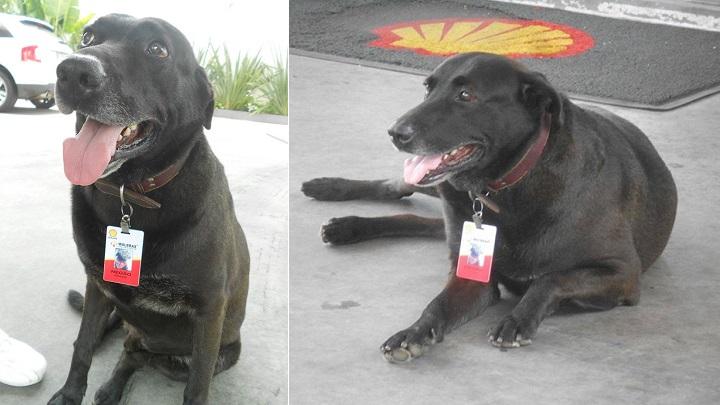 Un perro abandonado se convierte en el mejor trabajador de una gasolinera de Brasil