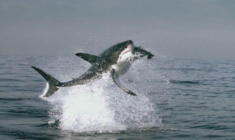 Un tiburón ataca a un león marino en una playa de Rhode Island