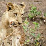 Una leona adopta a una cría de antílope