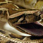 Una serpiente queda atrapada en la dilatación de la oreja de una adolescente