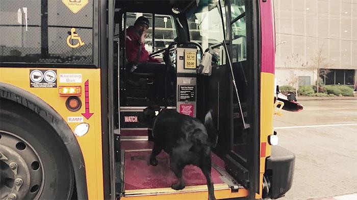 Descubre a la perra que coge el autobús sola para ir al parque