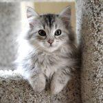 Descubre la maravillosa raza de gato siberiano