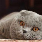 raza de gato Highland fold