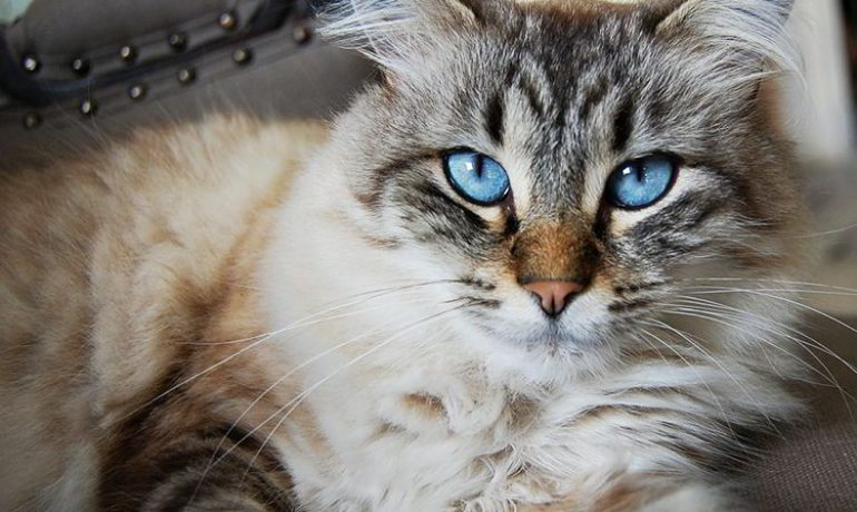 tricobezoares en gatos