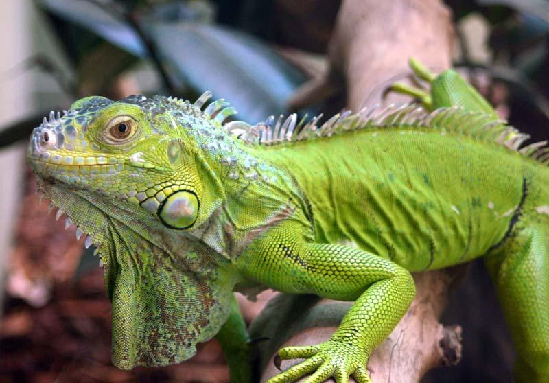 Así es la reproducción de las iguanas