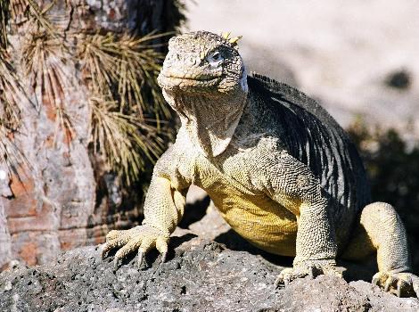 Cómo es la iguana terrestre de las Galápagos