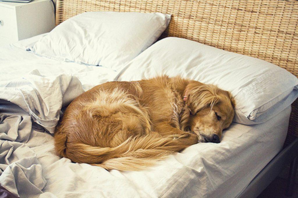 Cómo evitar que mi perro se orine en la cama