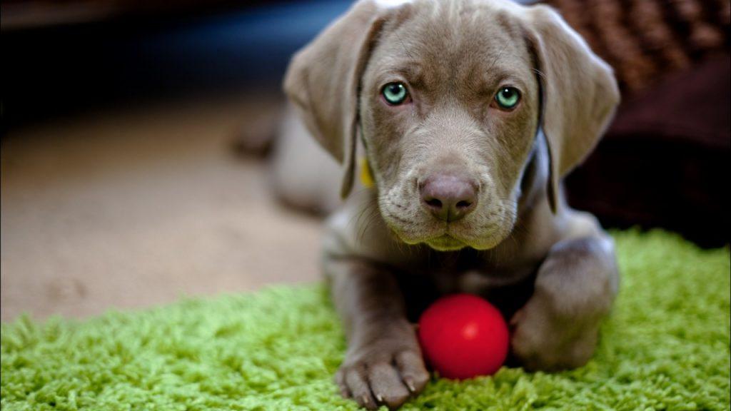 Cómo prevenir la coccidiosis en perros