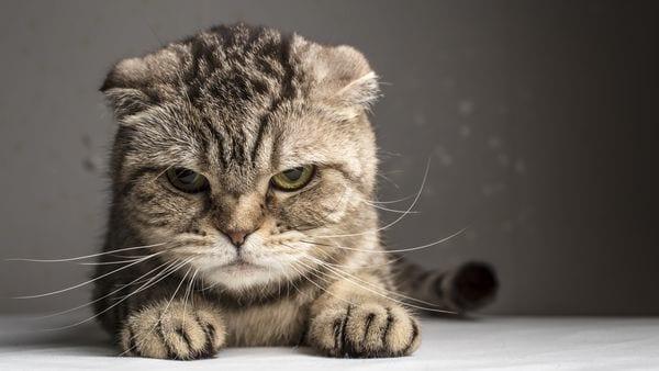 Cómo se contagia la tenia en gatos