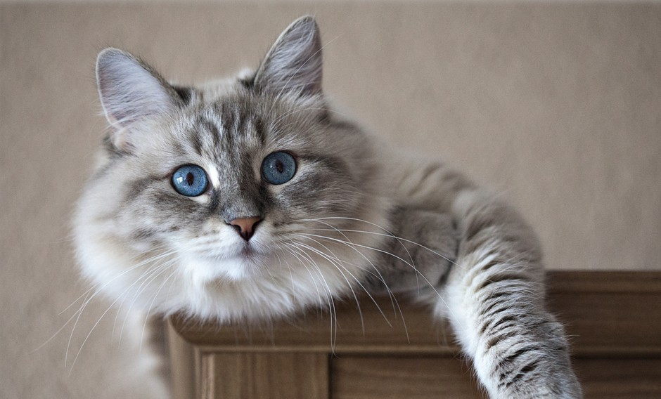 Cómo tranquilizar a un gato con trucos caseros