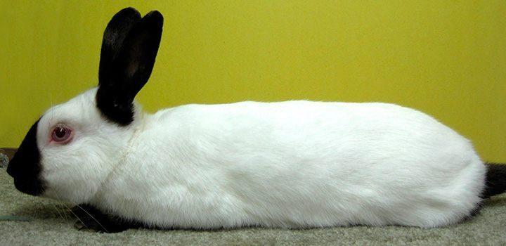 Características de los conejos californianos