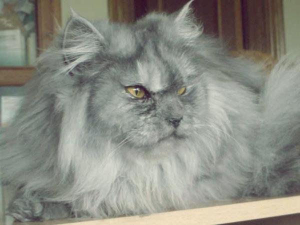 Gato exotico de pelo corto gris