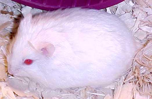 Características del hámster albino