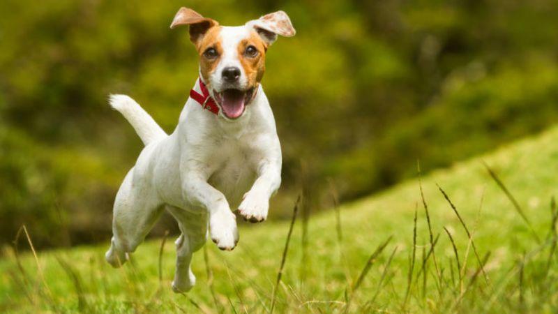 Causas de la bronquitis en perros