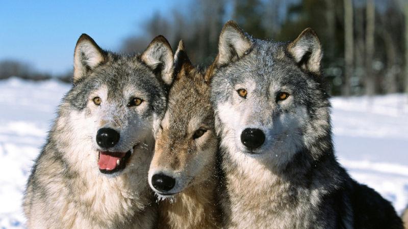 Causas de la gingivitis en perros