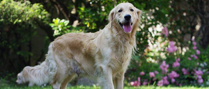 Causas de la hepatitis en perros