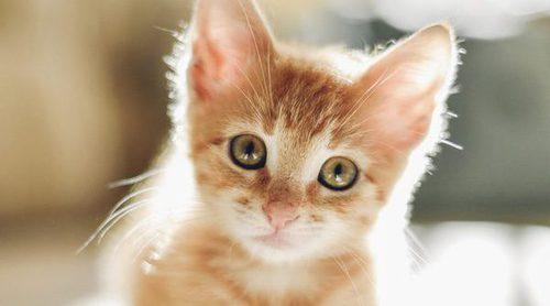 Causas de la sordera en gatos