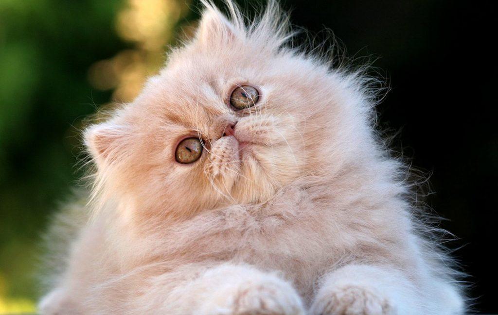 Causas de las convulsiones en gatos
