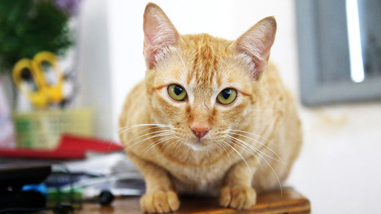 Causas del estrabismo en gatos