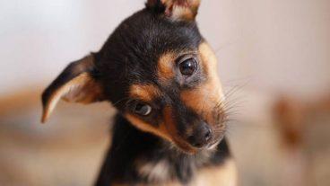 Coccidiosis en perros