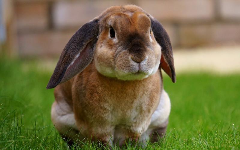 Contagio de la hemorragia vírica en conejos