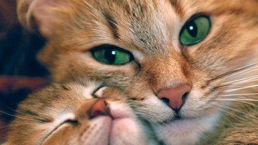 Cristales de estruvita en gatos