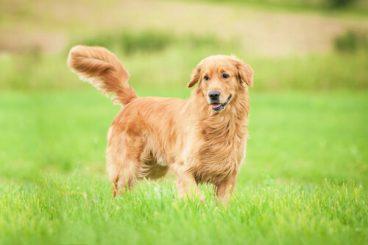 Cuánto dura la gestación de un perro