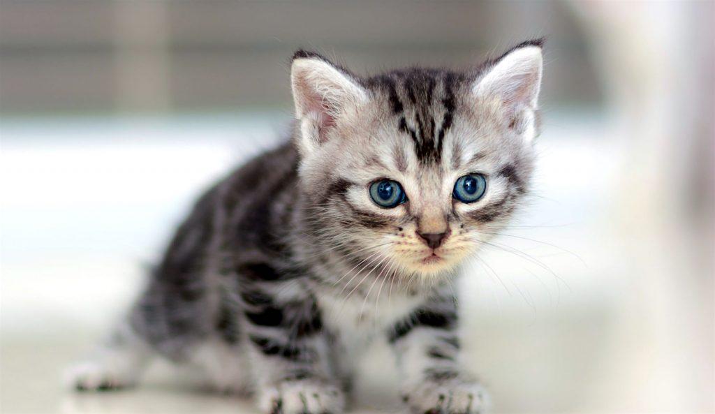 Cuidados de la raza de gato American shorthair