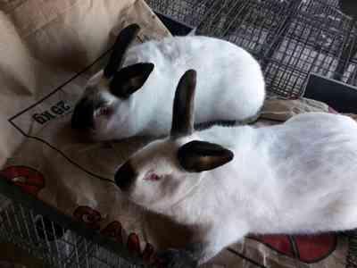 Cuidados de los conejos californianos