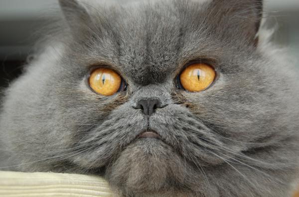 Cuidados del gato persa gris