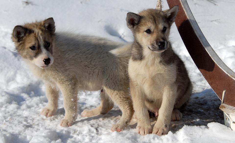 Cuidados del perro de Groenlandia