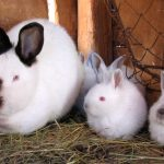 Descúbrelo todo sobre los conejos californianos