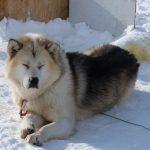 Descubre al perro de Groenlandia