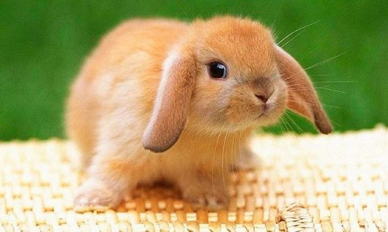 Descubre la mixomatosis en conejos
