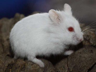 Descubre las características del hámster albino
