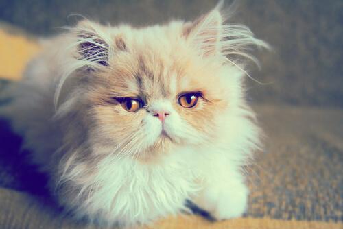 Descubre los distintos tipos de gatos persas