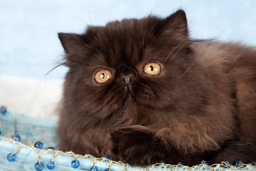 Descubre los distintos tipos de gatos persas no te lo for Tipos de persas
