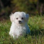 Efectos adversos de la furosemida en perros