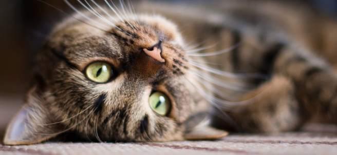 El contagio de la peritonitis infecciosa felina