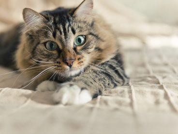 El estrabismo en gatos