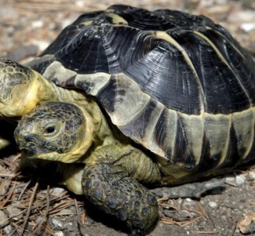 Esta tortuga de dos cabezas ha cumplido 20 años