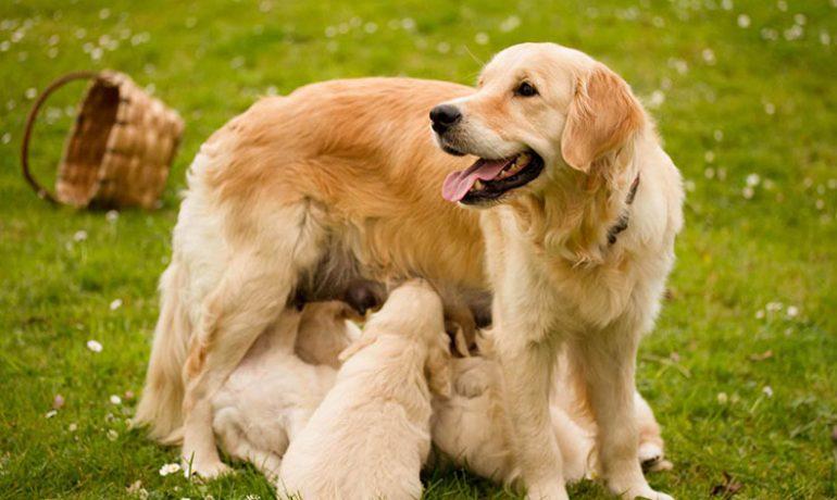 Estas son las principales causas de la hepatitis en perros