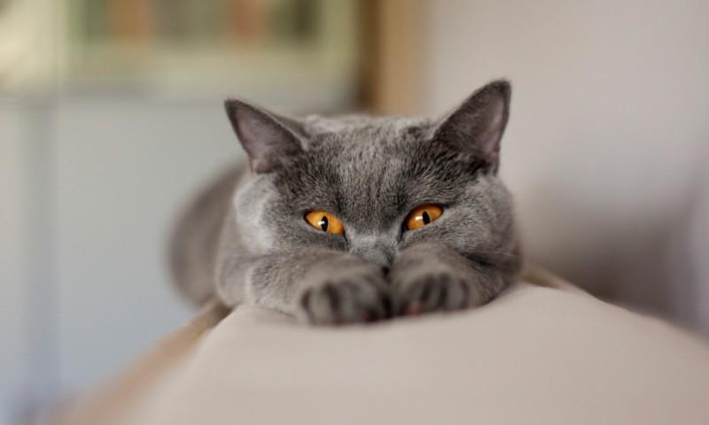 Fases del celo en gatos