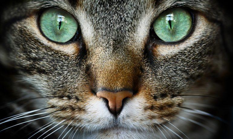 Hablamos de los cálculos renales en gatos