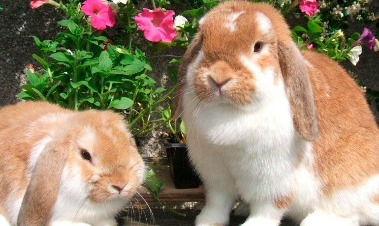 Hemorragia vírica en conejos