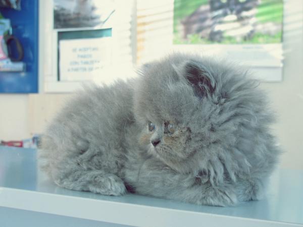 Historia del gato persa gris